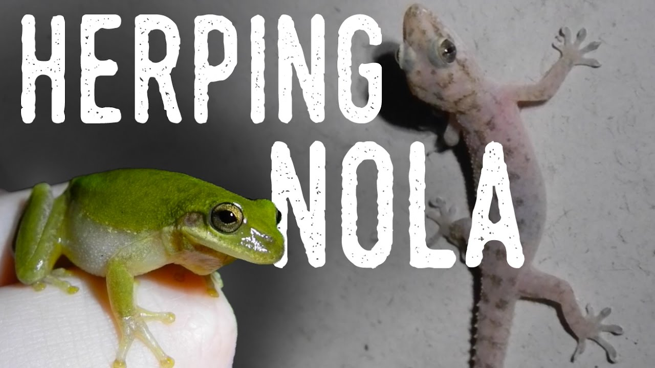 Catching TREE FROGS and ANOLES! | Backyard Herping New ...