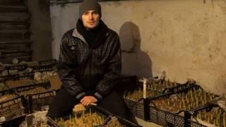 видео Выращивание тюльпанов в домашних условиях