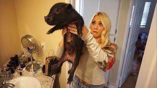 Download WE GOT A MINI PET PIG!!! (BAD IDEA) Mp3 and Videos