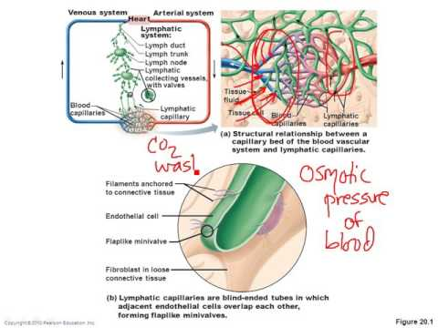 Chapter 20- Lymphatic System