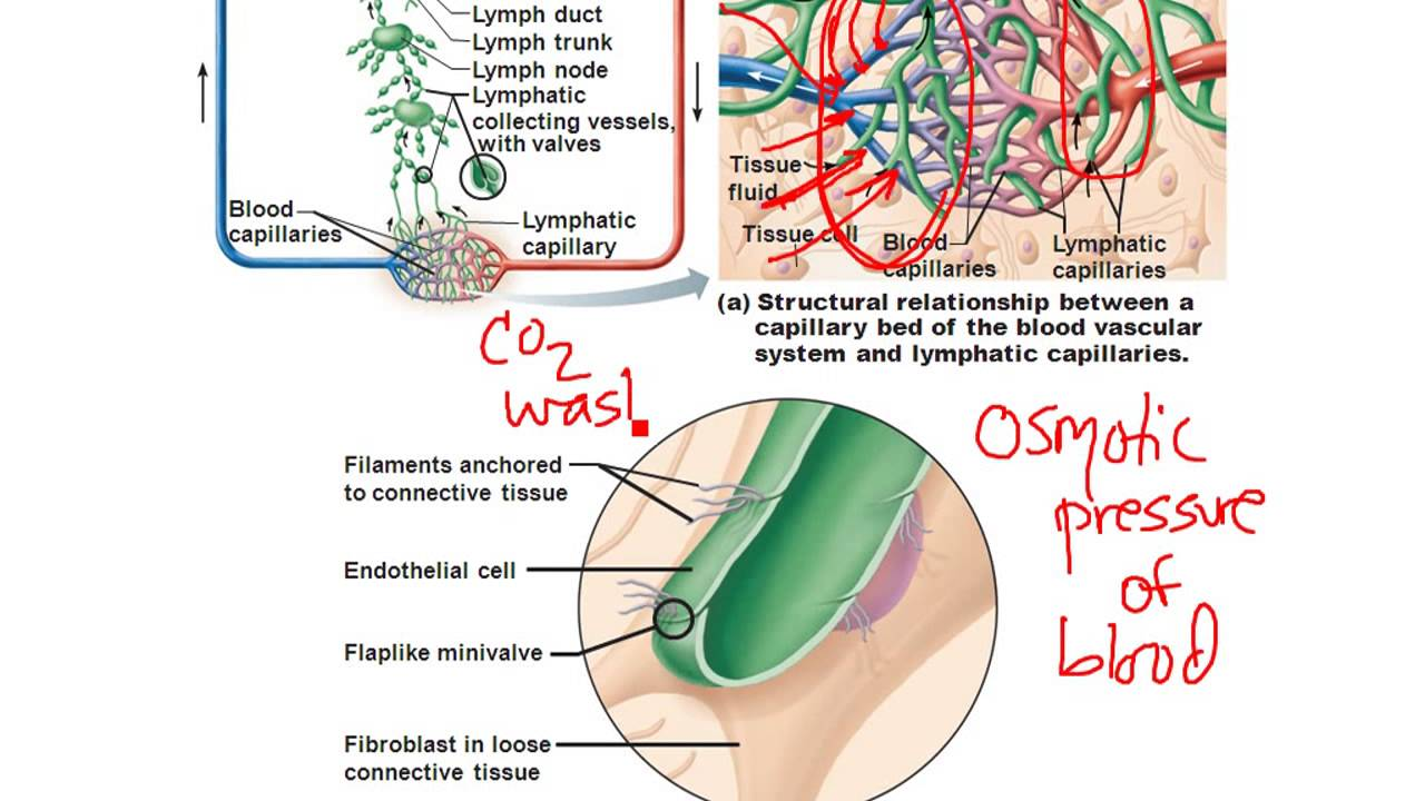 Chapter 20- Lymphatic System - YouTube