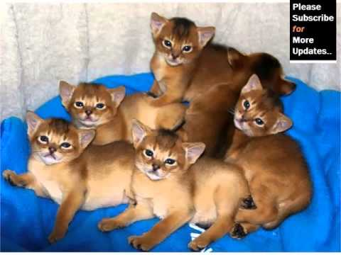 Abyssinian Cat Breed - Cat Pictures