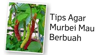 Tips Agar Murbei Mau Berbuah   TIPS BERKEBUN ORGANIK