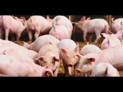 cara budidaya babi cepat gemuk,ramuan penggemuk babai,vitamin untuk babi