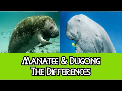 Manatee & Dugong - The Differences