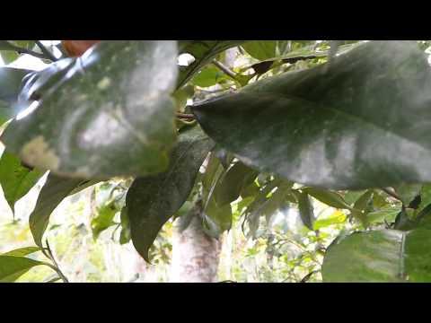 Koloni semut hitam yang pemarah