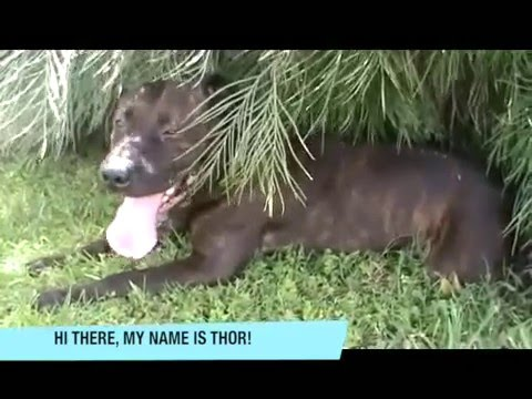 Thor   Available for Adoption   Brisbane Animal Care Campus, Wacol, QLD