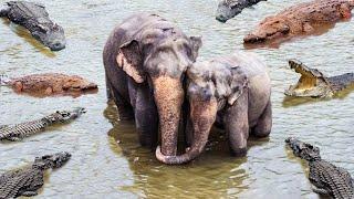 Mother Elephant Save Her Baby From Crocodile – Lion Escape Crocodile Ambush