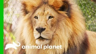 Vets Decide Whether To Operate On Lion With Kidney Tumor | The Zoo: San Diego