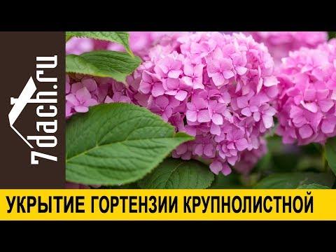 Как укрывать гортензии на зиму в московской области