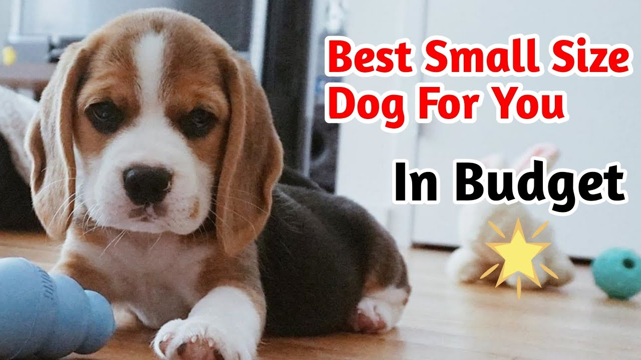 Best Small Size Dog For You In Budget Smallest Dog Breeds In India Youtube