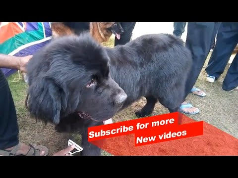Wow ! Most Amazing dog breeds worldwide | Newfoundland Dog |