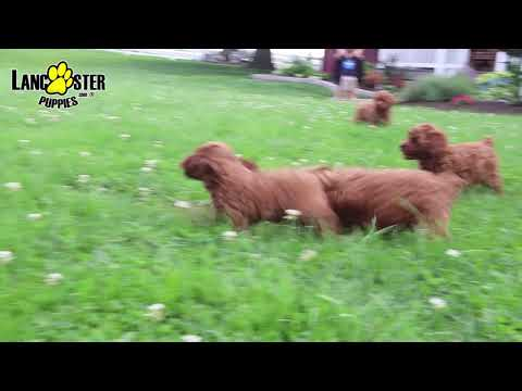 Lavender - Poodle (Toy) Puppy for Sale in Bird in Hand, PA
