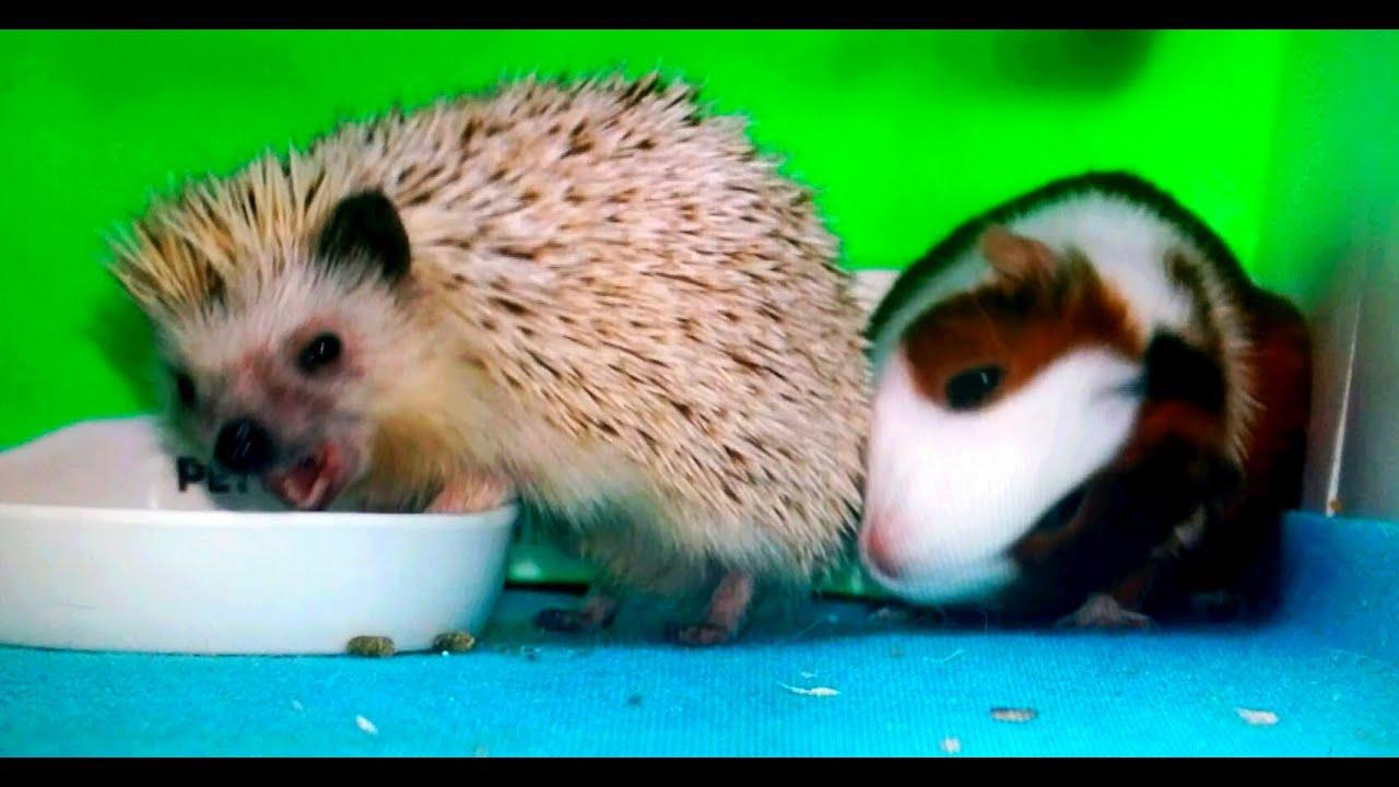 Uncategorized Hamster And Guinea Pig guinea pig vs hedgehog youtube youtube