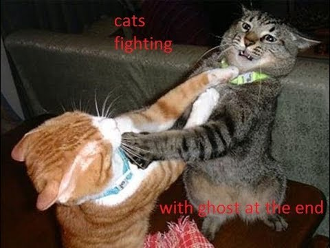 Cats fighting (ghost at the end)