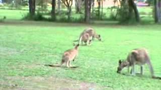 Wild Kangaroos At The University At Sunshine Coast Australia