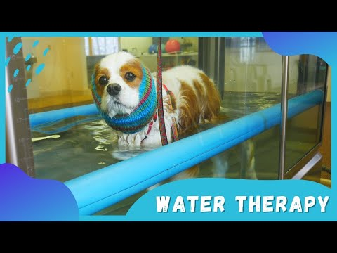 Water Treadmill Physical Therapy for Dogs | Canine Water Rehab for Neurological Disease