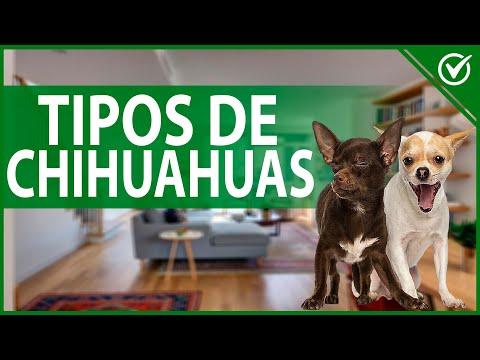 ¿Cuántos Tipos de Chihuahuas 🐶 hay y Cuáles son los Colores que Puede Tener un Perro Chihuahua? 🐶