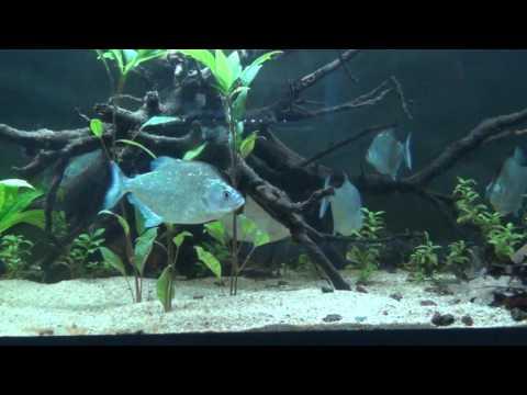 Serrasalmus geryi - Geryi Piranha 2