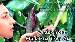 *Plant a Pakistan Mulberry Tree* +Long Black Mulberries+Juicy+
