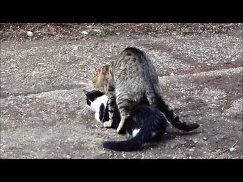 Cats mating (two boys) - O imperechere ciudata intre pisici