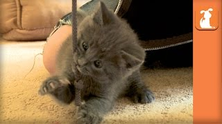 Kitty FIGHTS WITH the dangly string on your JACKET! - Kitten Love