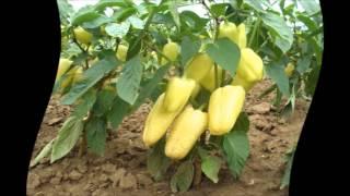 Как посадить перец.Как правильно посадить перец(как посадить перец на рассаду.как посадить перцы на рассаду правильно.как посадить семена перца., 2016-02-21T03:50:45.000Z)