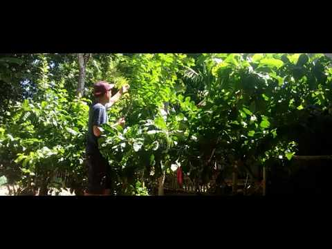 How to Plant Calabash-Miracle Fruit Tree-calabash Miracle Fruit From The Philippines