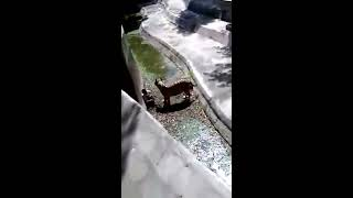 نمر يفترس رجل في الهند حديقه الحيوان