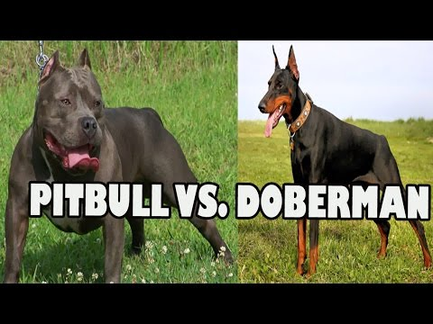 PITBULL VS DOBERMAN FIGHT | Pitbull Dog vs Doberman
