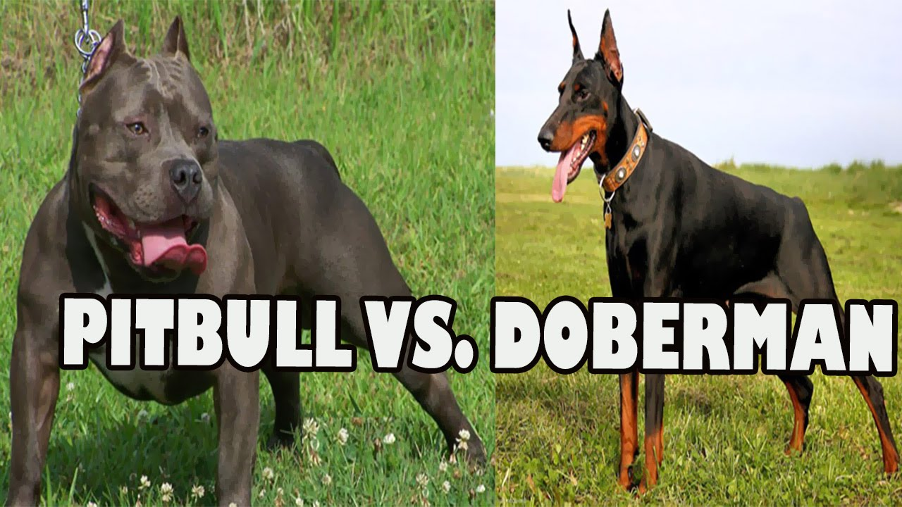 PITBULL VS DOBERMAN FIGHT | Pitbull Dog vs Doberman - YouTube