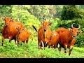 BULL CONSERVATION - Alas Purwo BANTENGAN Wisata Alam Banyuwangi Jatim