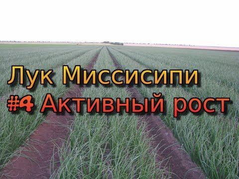 Лук Миссисипи - серия 4. Активный рост лука. Полив лука. Удобрение лука.  Защита лука от болезней.