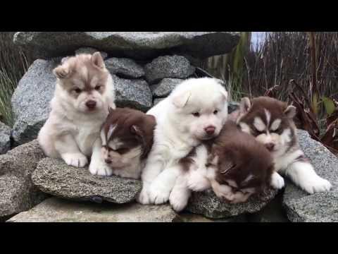 Funny Sleeping Siberian Husky Puppies