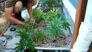 Cannabis Bending