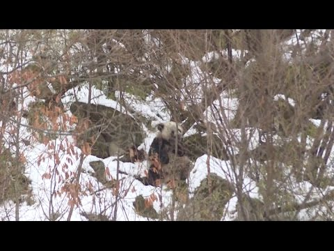 Tourists Encounter Wild Giant Panda in Northwest China