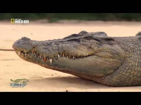 Cá sấu chúa ở Australia - Thiên nhiên hoang dã full HD Thuyết minh