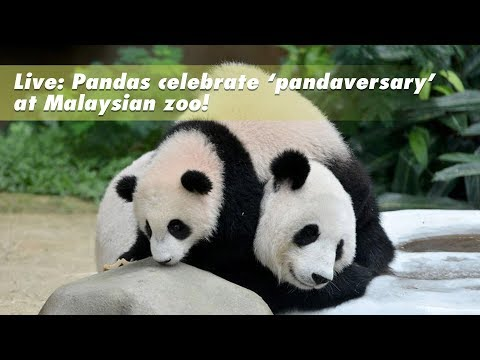Live: Xing Xing and Liang Liang celebrate'pandaversary'at Malaysian zoo! 熊猫夫妻带娃庆祝提前庆祝七夕