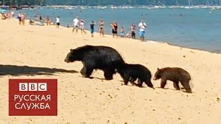 Медведи искупались на пляже в Калифорнии(Медведица с медвежатами пришла на многолюдный пляж, чтобы искупаться. Подписывайтесь: http://www.youtube.com/user/bbcrussi..., 2016-08-05T10:07:35.000Z)