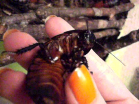 Information about cock roaches — img 7