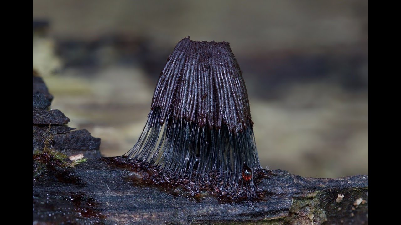 Stemonitis Slime Mold growth stages  YouTube