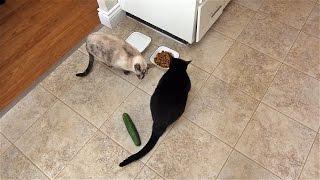 Cats Vs Cucumber