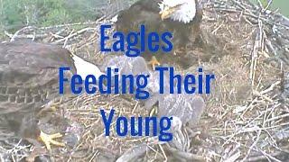 Eagles Feeding Their Young