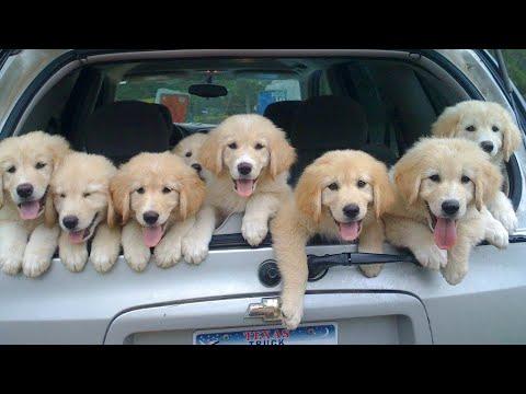 Funniest & Cutest Golden Retriever Puppies #23- Funny Puppy Videos 2020