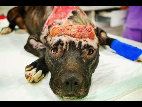 Amazing recovery of dog burned alive with a car tire set on fire around her neck