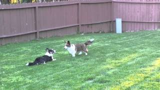 Gabby And Lupine Cardigan Welsh Corgi Frapping