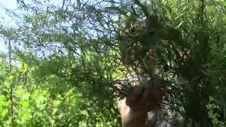 Эстрагон.  Пряная зелень.  Растение для пряной грядки
