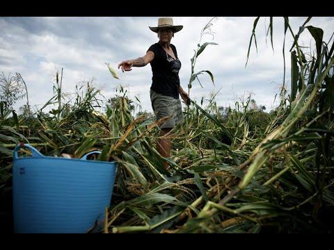 Iowa's Meskwaki Community Works To Save Ancestral Foodways After The Derecho