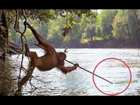Smart Species Wildlife - Chimp | Monkey Documentary 2018