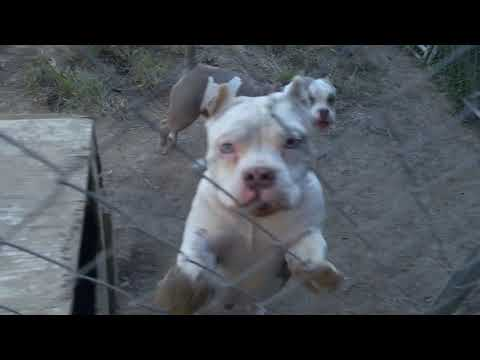 Pups , adult dogs for sale. Louie v line, Ch. Lucky luciao , Gr.Ch. El Torro son, Mars sons for sale